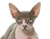 sphinx cat in studio