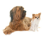 Briard and chihuahua