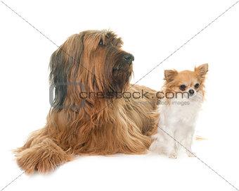 Briard and chihuahua