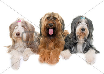 Briard and bearded collies in studio