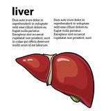 Healthy human liver