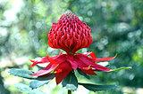 Australian Waratah Flower