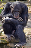 Chimpanzee in thoughtful pose