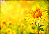 Grunge background with sunflower