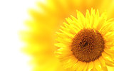 Decorative background with sunflower