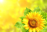 Sunflower with green leaves on sunny background