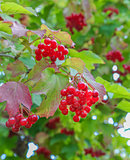 Bunches of red viburnum on the bush