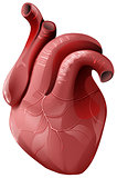 Realistic human heart. Healthy internal organ