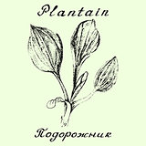 Plantain. Pencil drawing and hand-lettering