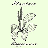 Plantain. Ink drawing and hand-lettering