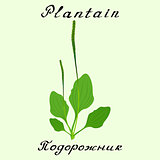Plantain. Vector drawing and hand-lettering