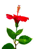 Hibiscus. Karkade. Hibiscus flower. Hibiscus flower isolated on