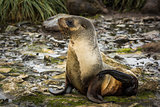 Antarctic fur seal in snow in riverbed