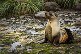 Antarctic fur seal lying on mossy rocks