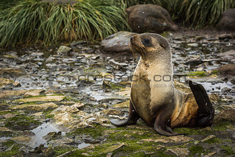 Antarctic fur seal lying on mossy rocks