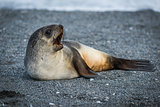 Antarctic fur seal lying yawning on beach