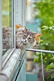 siberian grey cat sitting on the window sill