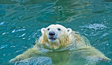 Polar bear swimming in water