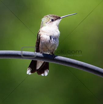 Sitting hummingbird