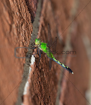 Clinging dragonfly