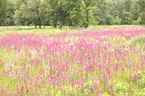 photo of spring meadow with pink wildflowers