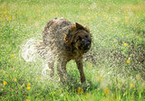 German shepherd dog shaking off water