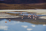 Flamingos eating in a laguna