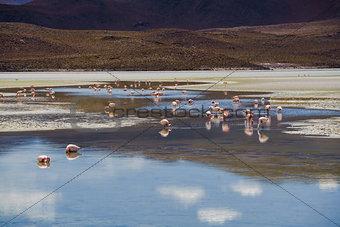 Flamingos eating in a laguna