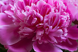 Closeup of beautiful pink peony. Nice background