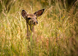 Deer Doe Standing in Tall Grass