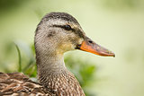 Female Duck Profile With Green Plantlife in the Background