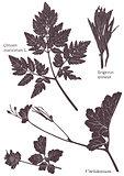 Set Herbarium of grass leaf
