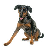 female harlequin beauceron