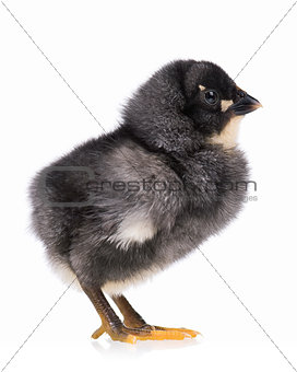 Black chicken isolated on white