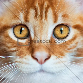 Portrait of red Maine Coon kitten