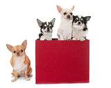 chihuahuas in box