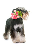 black and white miniature schnauzer and flower