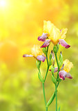 Flowers of iris of yellow and purple colors