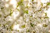 White Spring Cherry Flowers on Bright Blurred Background