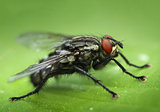 Housefly close-up macro