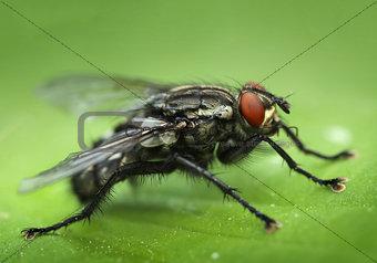 Housefly close-up macro