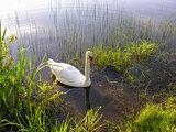 Swan swims