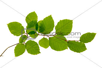 Green leaves isolated on white .
