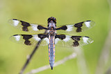 Eight-spotted Skimmer - Libellula forensis, adult, male