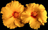 Orange Hibiscus Flowers isolated on Black