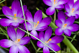Openned Crocus Spring Flowers