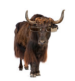 Yak wearing sunglasses, isolated on white