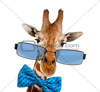 Close up of a Somali Giraffe wearing sunglasses, isolated on whi