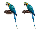 Blue-and-gold Macaw isolated on white