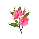 Dog Rose Hand Drawn Realistic Illustration